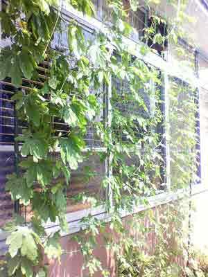 110803緑のカーテン1.jpg