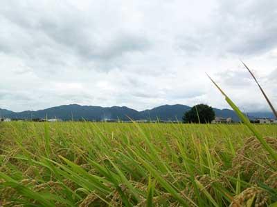 稲刈り120908_1.jpg